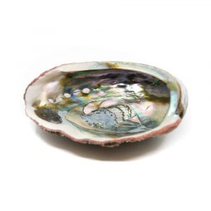 Abalone Shell - Large - 90 to 100 mm